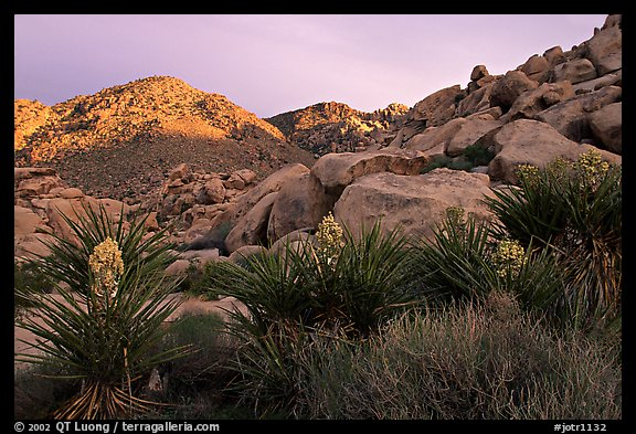 Yuccas and rocks in Rattlesnake Canyon. Joshua Tree National Park (color)