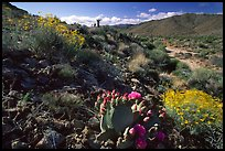 Beavertail cactus and brittlebush. Joshua Tree National Park ( color)