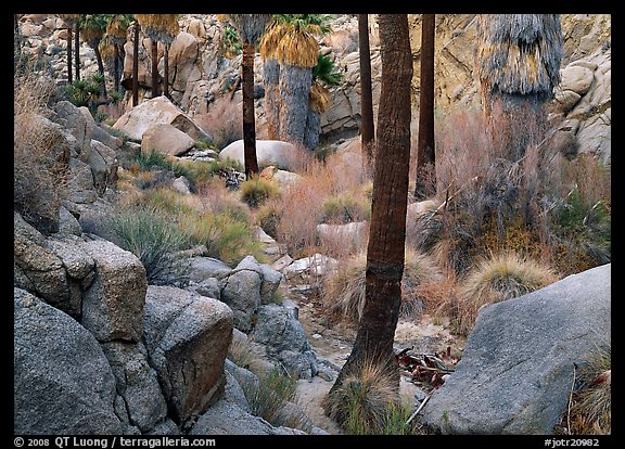 Lost Palm Oasis with California fan palm trees. Joshua Tree National Park (color)