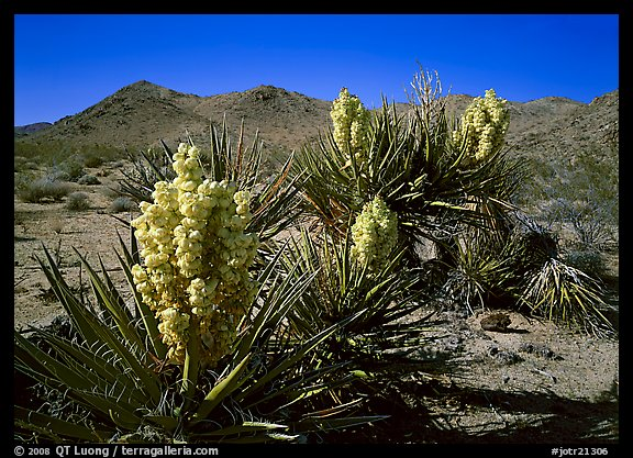 Yuccas in bloom. Joshua Tree National Park, California, USA.