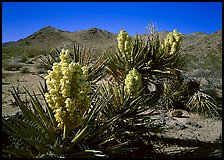Yuccas in bloom. Joshua Tree National Park, California, USA. (color)