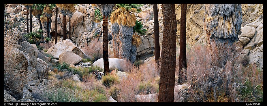 Oasis scenery with palm trees. Joshua Tree National Park (color)