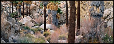 Oasis scenery with palm trees. Joshua Tree  National Park (Panoramic color)