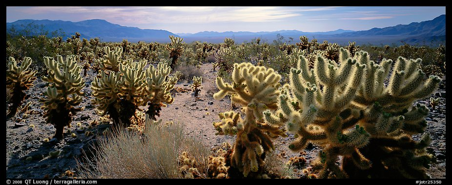 Desert flat with cholla cactus. Joshua Tree National Park (color)