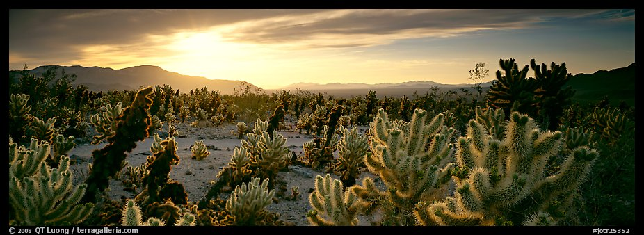 Desert scenery with cholla cacti at sunrise. Joshua Tree National Park (color)