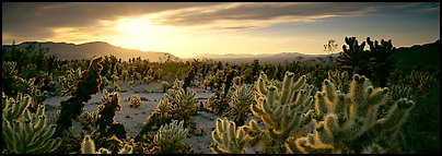 Desert scenery with cholla cacti at sunrise. Joshua Tree  National Park (Panoramic color)