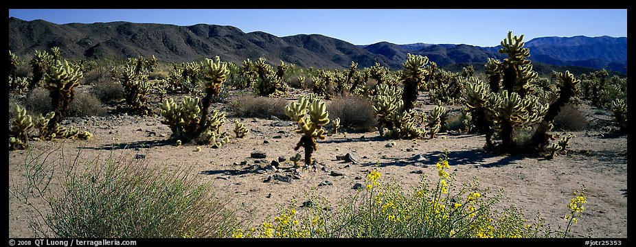 Desert landscape with yellow blooms on bush and cactus. Joshua Tree National Park (color)