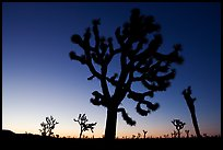 Joshua trees (Yucca brevifolia) at dawn. Joshua Tree National Park, California, USA. (color)