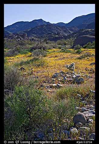 Coreopsis and cactus, and Queen Mountains near the North Entrance, afternoon. Joshua Tree National Park (color)