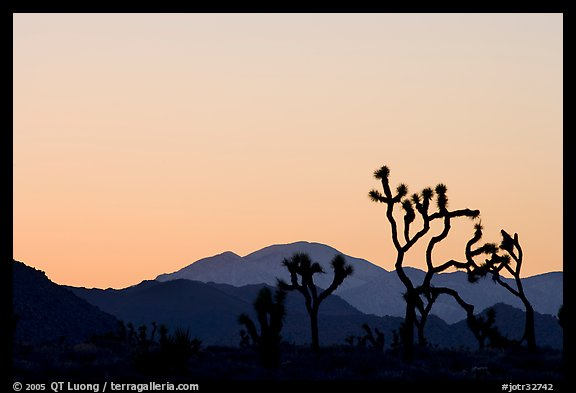 Joshua trees and mountains, sunset. Joshua Tree National Park (color)