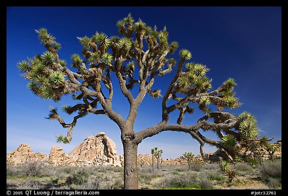 Old Joshua tree (scientific name: Yucca brevifolia). Joshua Tree National Park (color)