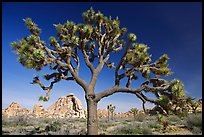 Old Joshua tree (scientific name: Yucca brevifolia). Joshua Tree National Park, California, USA. (color)