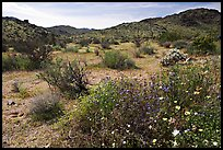 Wildflowers, volcanic hills, and Hexie Mountains. Joshua Tree National Park, California, USA. (color)