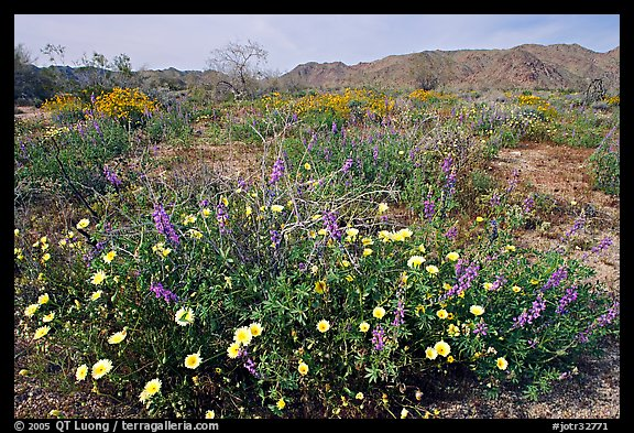 Arizona Lupine, Desert Dandelion, with Brittlebush and Cottonwood Mountains. Joshua Tree National Park (color)