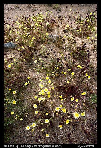 Chia and Desert Dandelion flowers. Joshua Tree National Park (color)