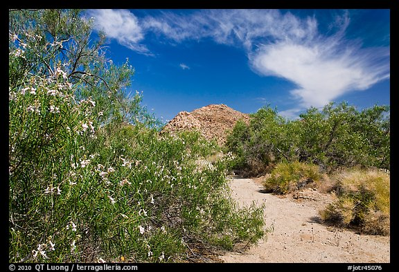 Sandy wash with desert tree blooming. Joshua Tree National Park (color)
