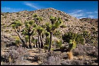 Rocky hills and Joshua trees in seed, Black Rock. Joshua Tree National Park ( color)