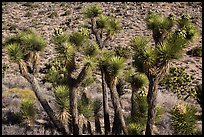 Joshua trees in seed, Black Rock. Joshua Tree National Park ( color)