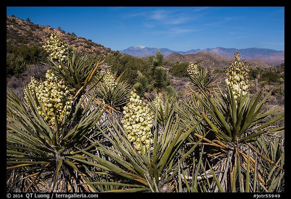 Yuccas in bloom, Black Rock. Joshua Tree National Park (color)