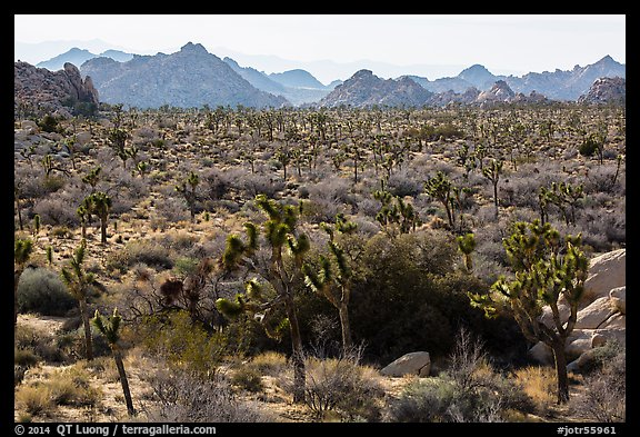 Forest of Joshua trees and distant rocks, Hidden Valley. Joshua Tree National Park (color)