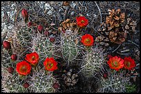 Ground view with pine cones and claret cup cactus in bloom. Joshua Tree National Park ( color)