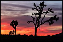Joshua Trees silhouettes and bright sunset clouds. Joshua Tree National Park ( color)