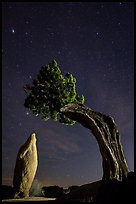 Pointed monolith framed by juniper tree at night. Joshua Tree National Park ( color)