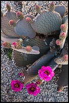 Beavertail cactus bloom. Joshua Tree National Park ( color)