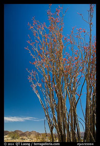 Coachwhip (Fouquieria splendens) in bloom and desert mountains. Joshua Tree National Park (color)