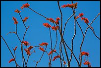Stems and bright crimson flowers of ocotillo. Joshua Tree National Park ( color)