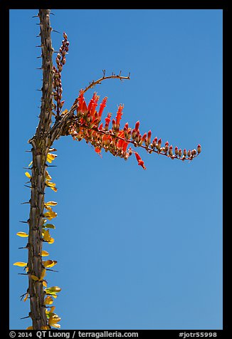 Stem and flower of slimwood (Fouquieria splendens). Joshua Tree National Park (color)