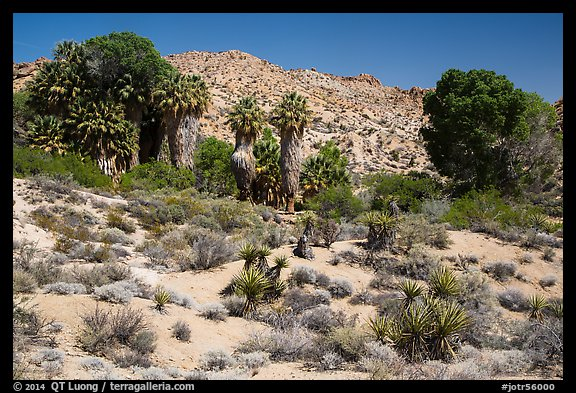 Cottonwood Spring oasis. Joshua Tree National Park (color)