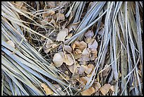 Ground view of fallen palms and cottonwood leaves. Joshua Tree National Park ( color)