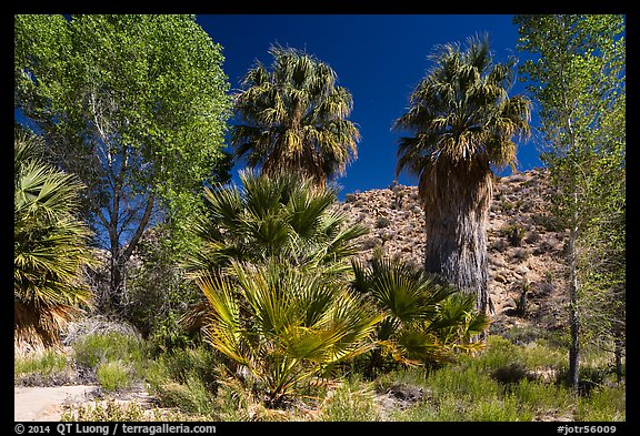 Cottonwoods and palm trees, Cottonwood Spring. Joshua Tree National Park (color)