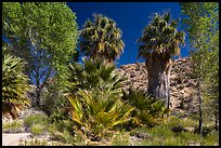 Cottonwoods and palm trees, Cottonwood Spring. Joshua Tree National Park ( color)