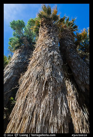 Looking up frond skirt of California fan palm tree. Joshua Tree National Park (color)