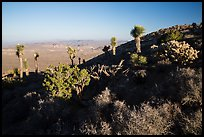 Cactus and yuccas, Ryan Mountain. Joshua Tree National Park ( color)