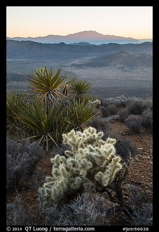 Cholla Cactus, yucca, and San Jacinton Peak, sunset. Joshua Tree National Park (color)