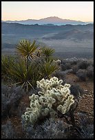 Cholla Cactus, yucca, and San Jacinton Peak, sunset. Joshua Tree National Park ( color)