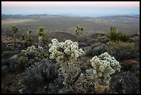 Cholla Cactus, yucca on Ryan Mountain, dusk. Joshua Tree National Park ( color)