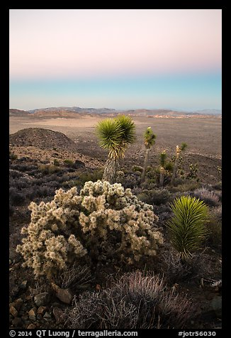 Cholla Cactus, yucca on Ryan Mountain with earth shadow. Joshua Tree National Park (color)