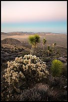 Cholla Cactus, yucca on Ryan Mountain with earth shadow. Joshua Tree National Park ( color)