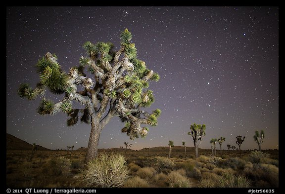 Joshua trees and starry sky. Joshua Tree National Park (color)