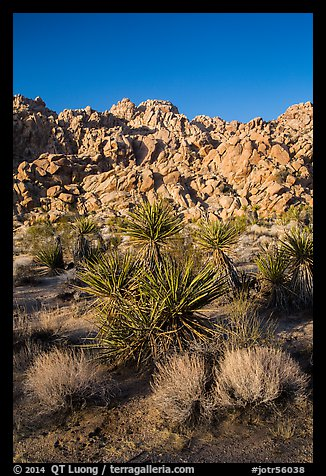 Yuccas and Wonderland of Rocks, Indian Cove. Joshua Tree National Park (color)