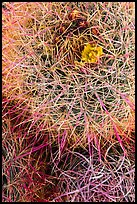 Close-up of barrel cactus top. Joshua Tree National Park ( color)