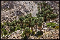 Forty-nine palms Oasis. Joshua Tree National Park ( color)