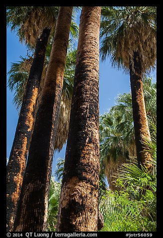 California Fan palms with charred trunks. Joshua Tree National Park (color)