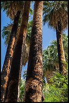 California Fan palms with charred trunks. Joshua Tree National Park ( color)