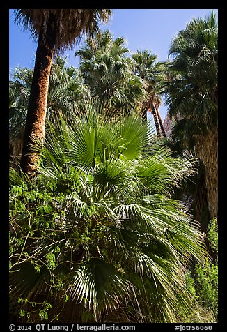 Lush vegetation in 49 Palms Oasis. Joshua Tree National Park (color)