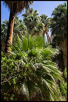 Lush vegetation in 49 Palms Oasis. Joshua Tree National Park ( color)